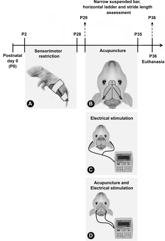 Acupuncture improved motor performance in a rat disuse model